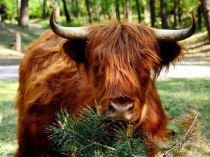 Koeien knuffelen op de Hollandse vs. Oostenrijkse h(w)ei
